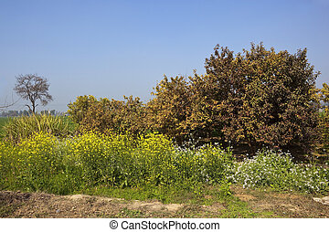 colorful punjab - colorful flowering mustard plants and...