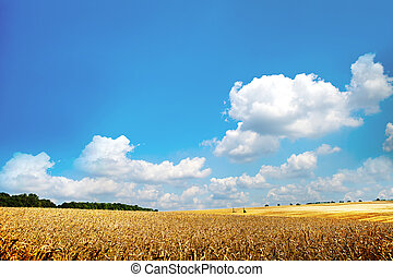 trigo, campo,