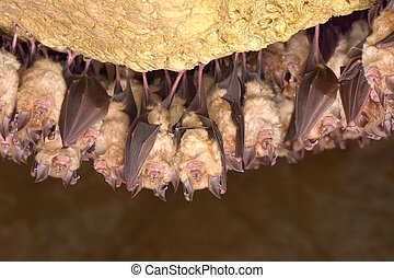 Greater horseshoe bat( Rhinolophus ferrumequinum)