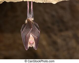 Greater horseshoe bat Rhinolophus ferrumequinum