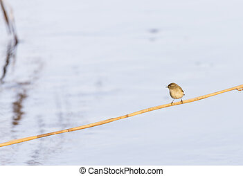 phylloscopus collybita, chiffchaff, foraging over a log