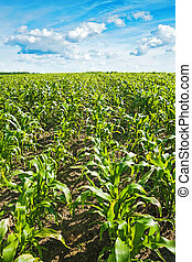 young plants of corn  on field
