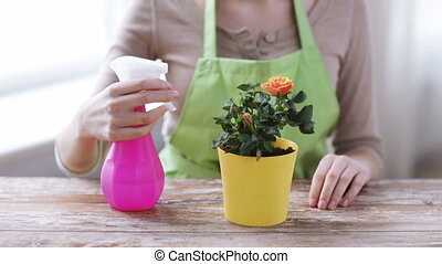 close up of woman hands spraying roses in pot - people,...