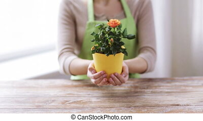 close up of woman hands holding roses bush in pot - people,...
