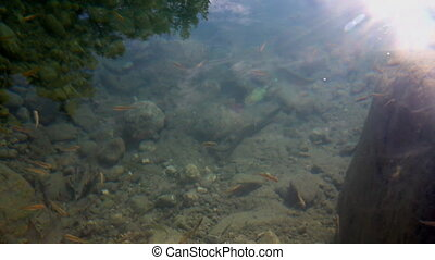 Underwater life of freshwater fish - Many small fish swim in...