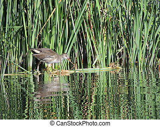 The common moorhen 3ndash;4 months old the reeds - The...