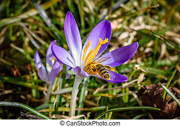 Purple Crocus with nectar sucking bee - spring is coming