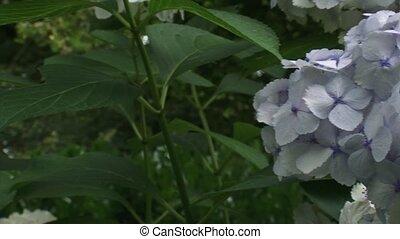pan hold white hortensia flower - pan hold hortensia...