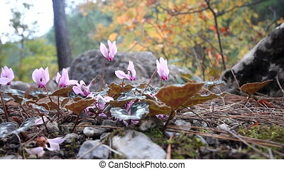 Winter flowers of cyclamen in mountains of Mediterranean -...