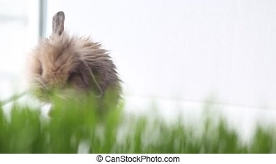 Easter bunny on green spring grass, white background
