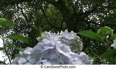 white hortensia hydrangea tilt down - tilt down hortensia...