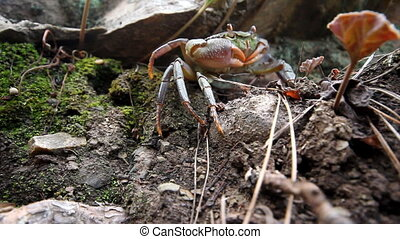 Crabs in the mountains of the Mediterranean - In frame shown...