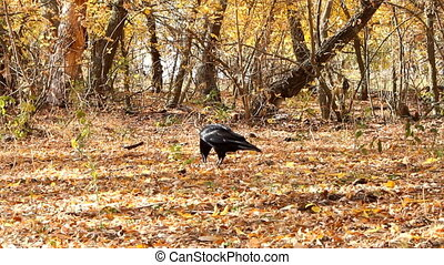 Raven is looking for food among the yellow leaves - ground...