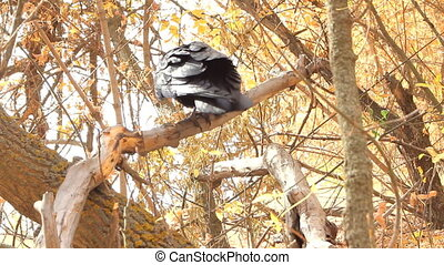 Dancing Raven - Raven dancing and screaming on a tree branch