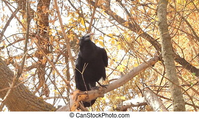 Raven black wise bird - Raven looks on a yellow background...