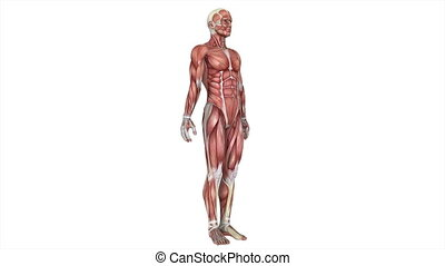 human body - male  lay figure