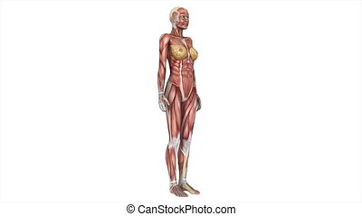 human body - female  lay figure