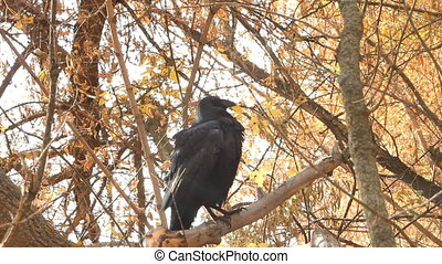 Crow in autumn - Raven looks on a yellow background...