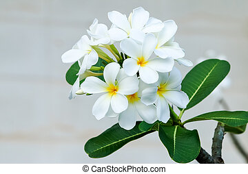 Plumeria flower on wall in the background