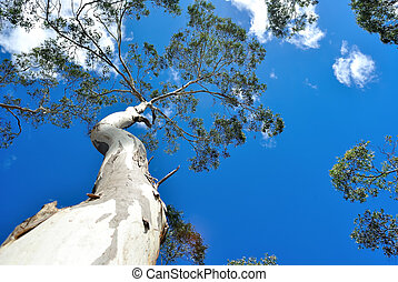 Eucalyptus Tree Background - Eucalyptus tree against deep...