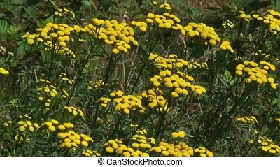 Common Tansy (Tanacetum vulgare) blooming in summer breeze -...