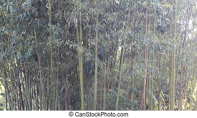 Bamboo grove - small grove of green bamboo