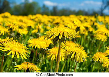 Field of dandelions - Close up of spring dandelion field...