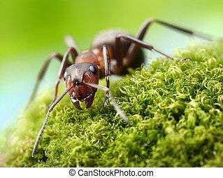 hormiga,  rufa,  formica