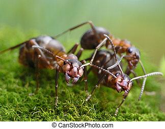 rufa,  formica, tres, hormigas