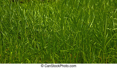 grass - close up insect view of a green grass field