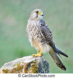 female Common Kestrel - Beautiful female Common Kestrel...