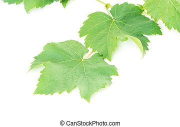 grape leaf - Fresh green gape leaf, isolated on white...