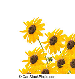 sunflower - Beautiful yellow flower, Sunflower, isolated on...