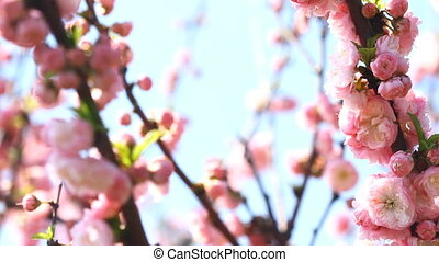 Blossom pink sakura tree with slider and singing nightingale