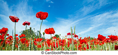 red poppy field with blue sky and clouds