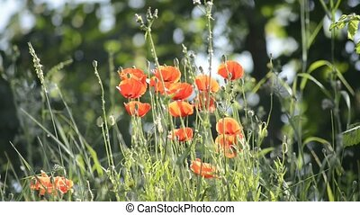 Poppy flowers in summertime