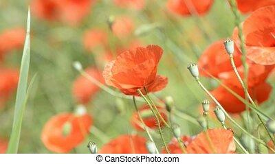 Poppy flowers in summertime