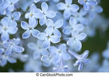 blue lilac blossom