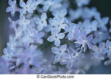blue lilac blossom .