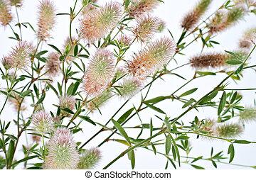 Clover. Trifolium arvense - Has many names. Official Clover...