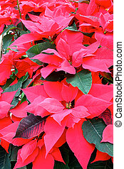 poinsettia close up in green house