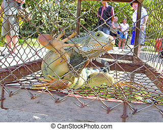 lizard in a cage in Bali, Indonesia - lizard in a cage in...