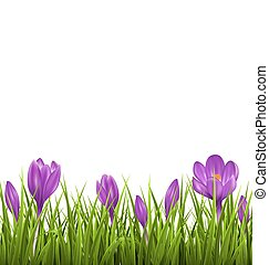 Green grass lawn with violet crocuses isolated. Floral nature spring background