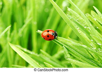 ladybug on grass nature background in waterdrops