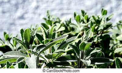 Sage bush and tea preparation
