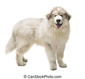White Dog Husky Puppy, Whelp Isolated over White Background,...