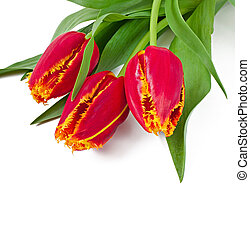 Spring bouquet of red tulips isolated on white background