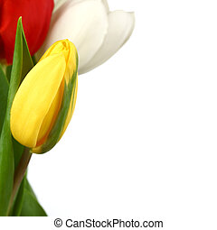 colorful tulips close up holiday background