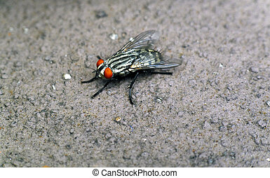 Closeup of a fly on concrete - Closeup of a common fly on...