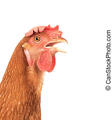 head of chicken hen shock and funny surprising isolated...